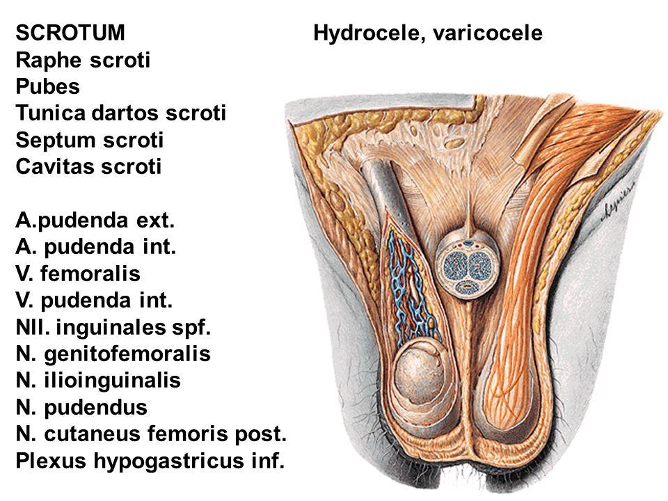 SCROTUM Raphe scroti Pubes Tunica dartos scroti Septum scroti Cavitas scroti A.pudenda ext.