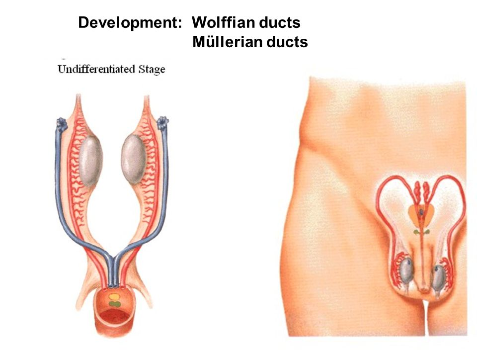 Development: Wolffian ducts Müllerian ducts