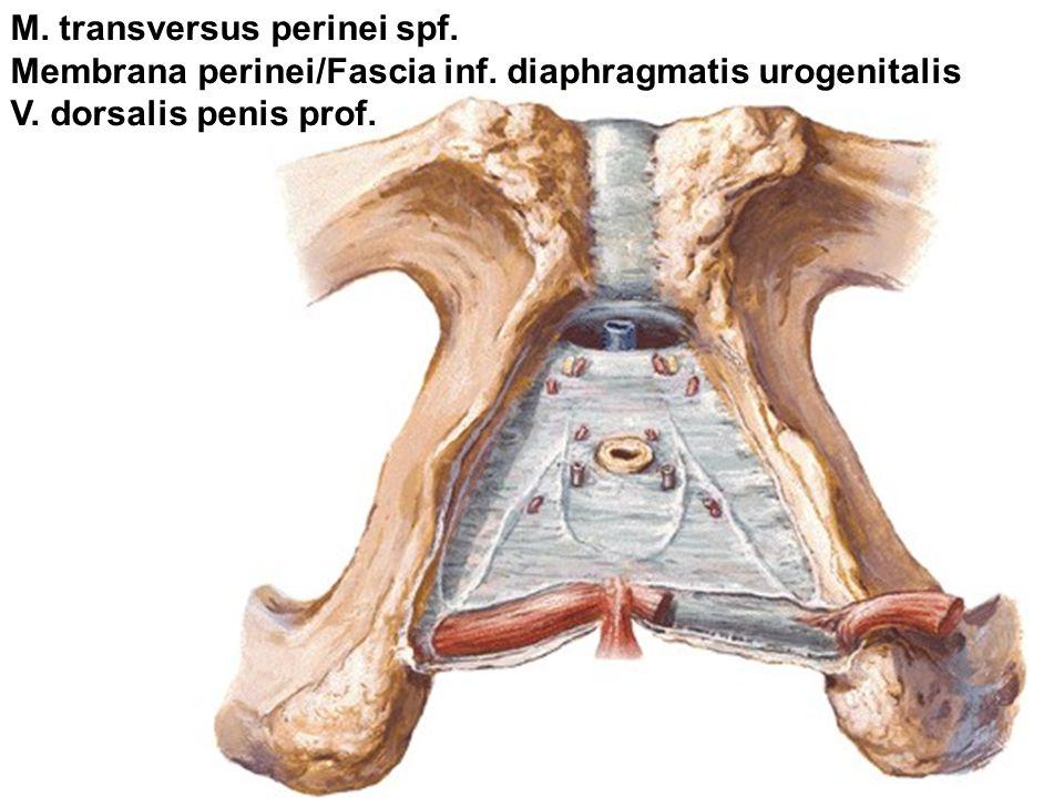 M. transversus perinei spf. Membrana perinei/Fascia inf.