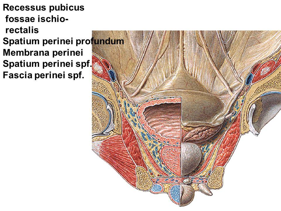 Recessus pubicus fossae ischio- rectalis Spatium perinei profundum Membrana perinei Spatium perinei spf.