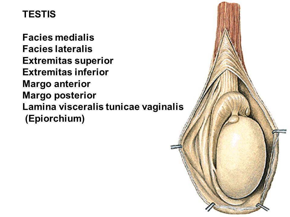 EXTERNAL GENITAL ORGANS PENIS: Radix Corpus Glans Praeputium SCROTUM