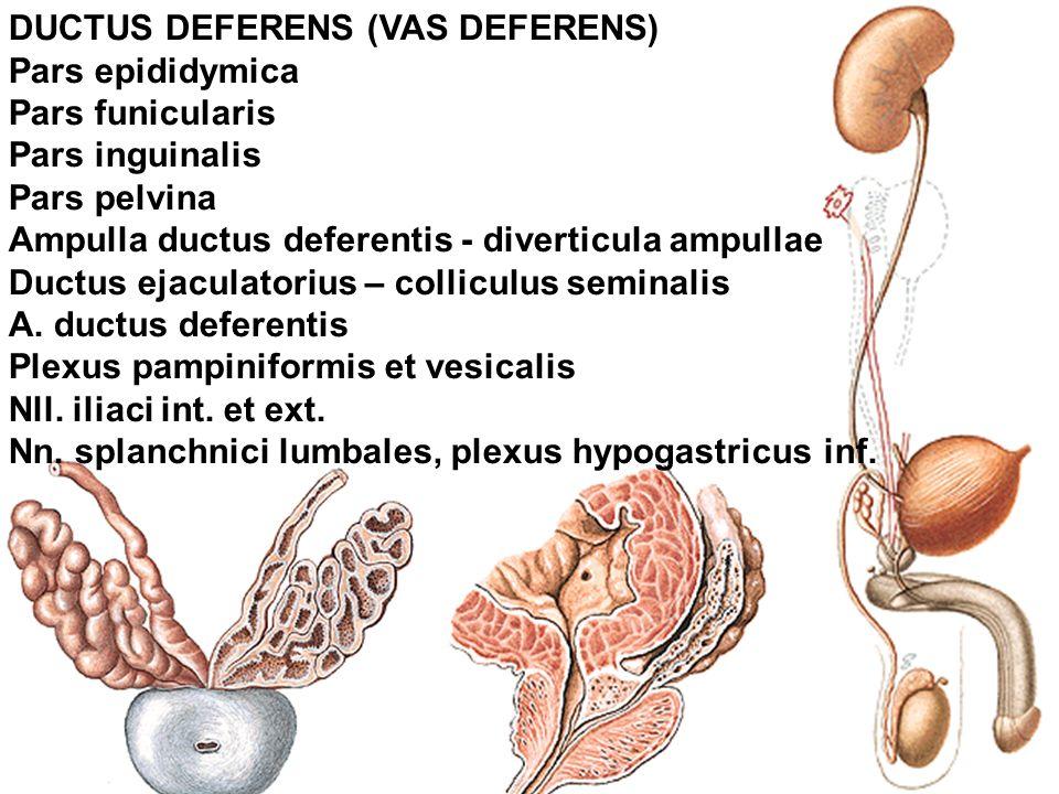 DUCTUS DEFERENS (VAS DEFERENS) Pars epididymica Pars funicularis Pars inguinalis Pars pelvina Ampulla ductus deferentis - diverticula ampullae Ductus ejaculatorius – colliculus seminalis A.