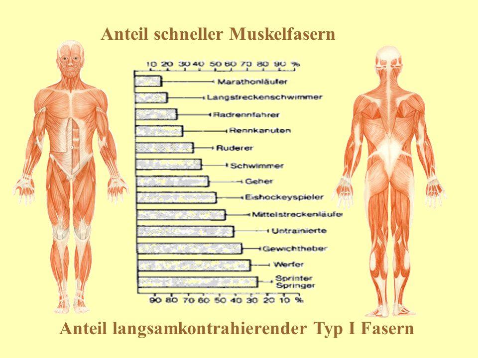 Anteil schneller Muskelfasern Anteil langsamkontrahierender Typ I Fasern