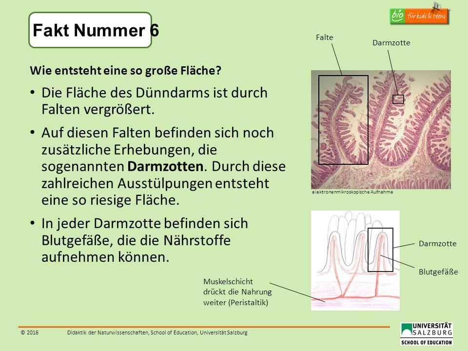 © 2016Didaktik der Naturwissenschaften, School of Education, Universität Salzburg Wie entsteht eine so große Fläche? Die Fläche des Dünndarms ist durc