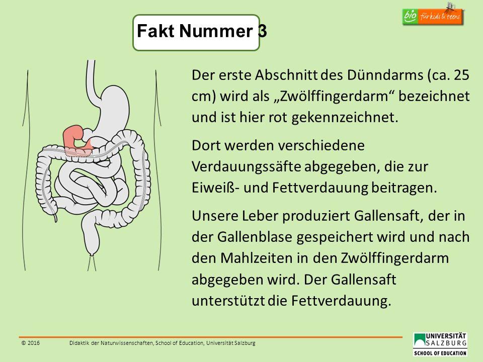 """© 2016Didaktik der Naturwissenschaften, School of Education, Universität Salzburg Der erste Abschnitt des Dünndarms (ca. 25 cm) wird als """"Zwölffingerd"""
