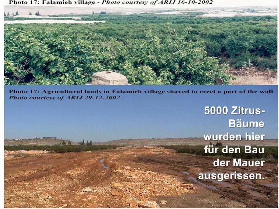 5000 Zitrus- Bäume wurden hier für den Bau der Mauer ausgerissen.