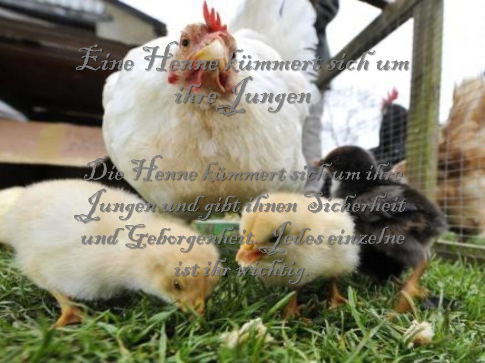 Eine Henne kümmert sich um ihre Jungen Die Henne kümmert sich um ihre Jungen und gibt ihnen Sicherheit und Geborgenheit. Jedes einzelne ist ihr wichti