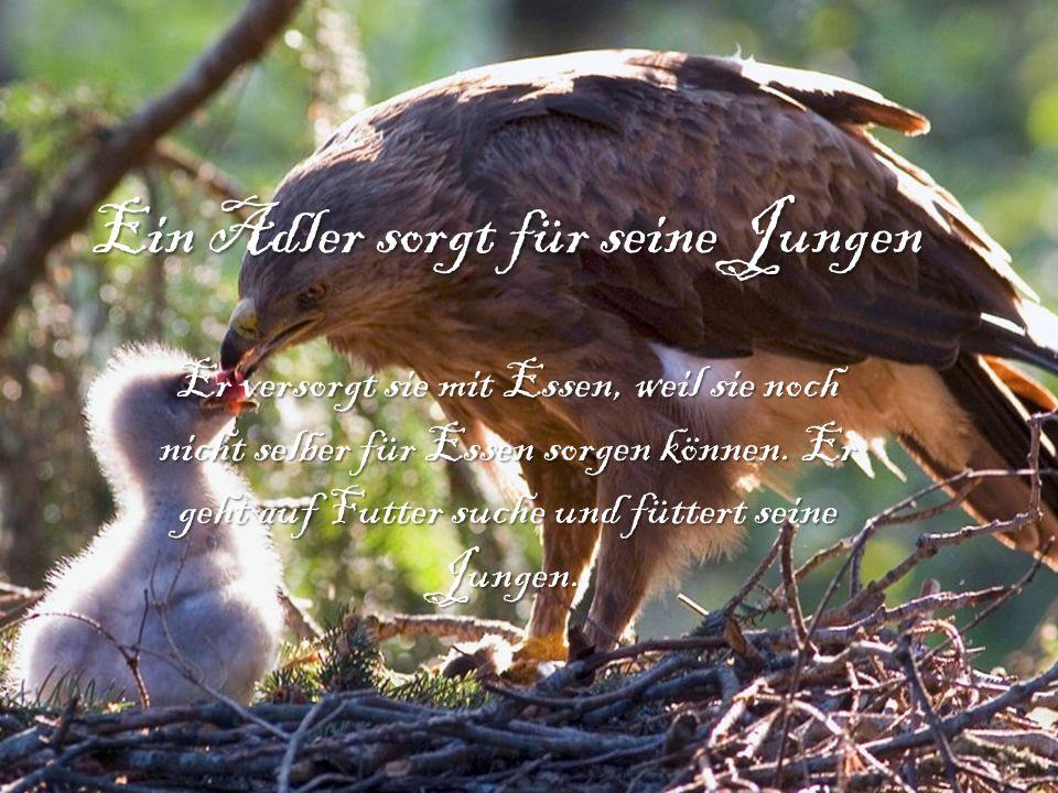 Ein Adler sorgt für seine Jungen Er versorgt sie mit Essen, weil sie noch nicht selber für Essen sorgen können. Er geht auf Futter suche und füttert s