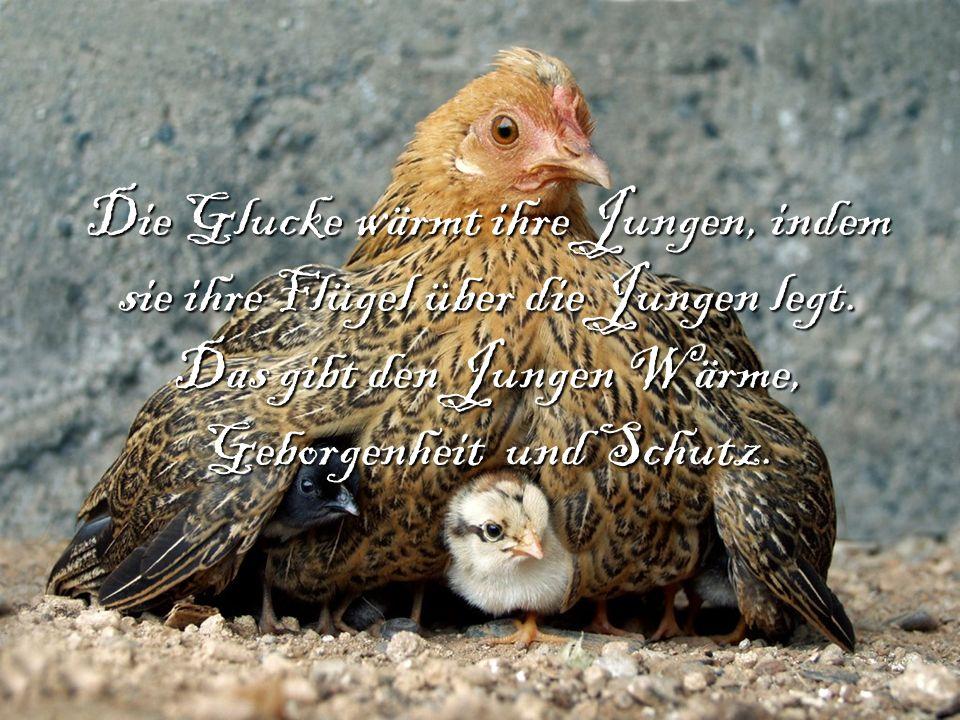 Die Glucke wärmt ihre Jungen, indem sie ihre Flügel über die Jungen legt. Das gibt den Jungen Wärme, Geborgenheit und Schutz.