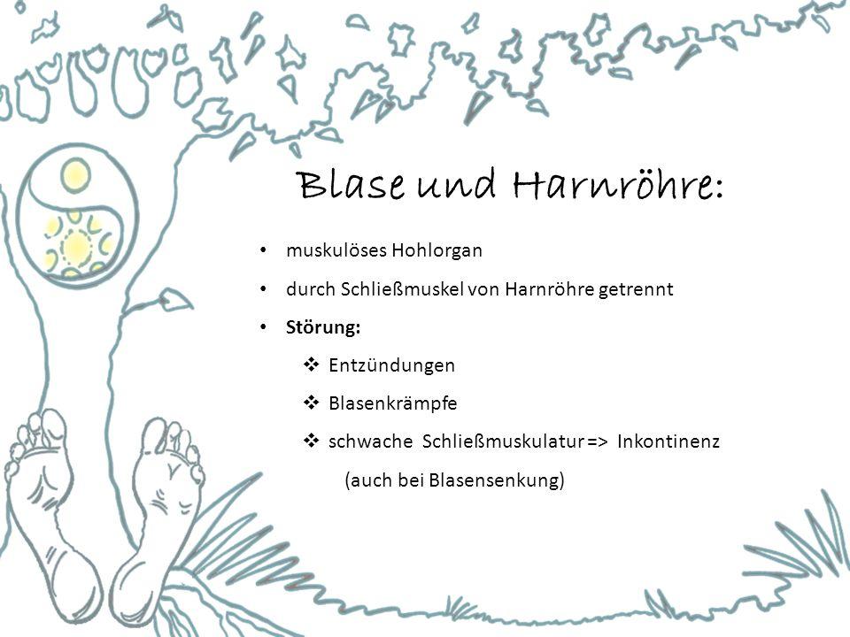 Blase und Harnröhre: muskulöses Hohlorgan durch Schließmuskel von Harnröhre getrennt Störung:  Entzündungen  Blasenkrämpfe  schwache Schließmuskulatur => Inkontinenz (auch bei Blasensenkung)