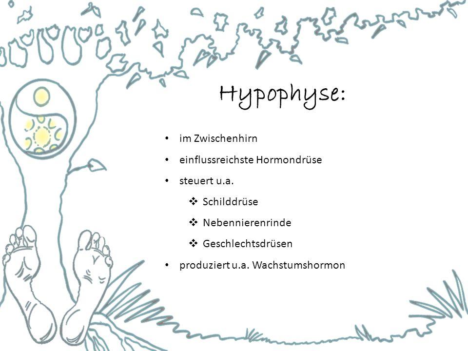 Hypophyse: im Zwischenhirn einflussreichste Hormondrüse steuert u.a.  Schilddrüse  Nebennierenrinde  Geschlechtsdrüsen produziert u.a. Wachstumshor