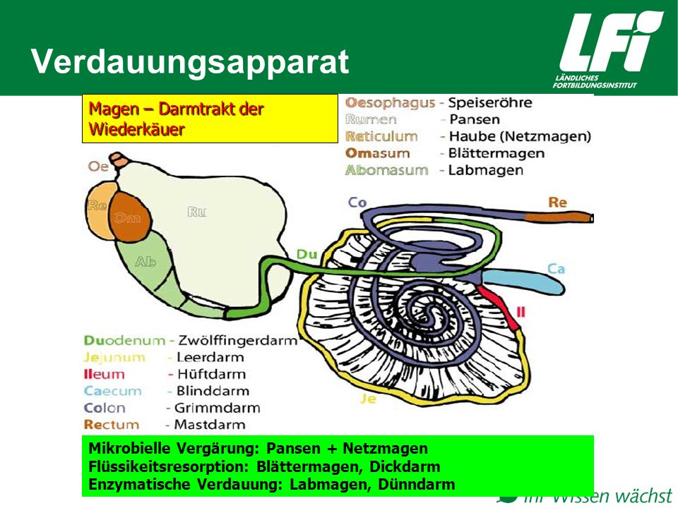 Verdauungsapparat Mikrobielle Vergärung: Pansen + Netzmagen Flüssikeitsresorption: Blättermagen, Dickdarm Enzymatische Verdauung: Labmagen, Dünndarm Magen – Darmtrakt der Wiederkäuer