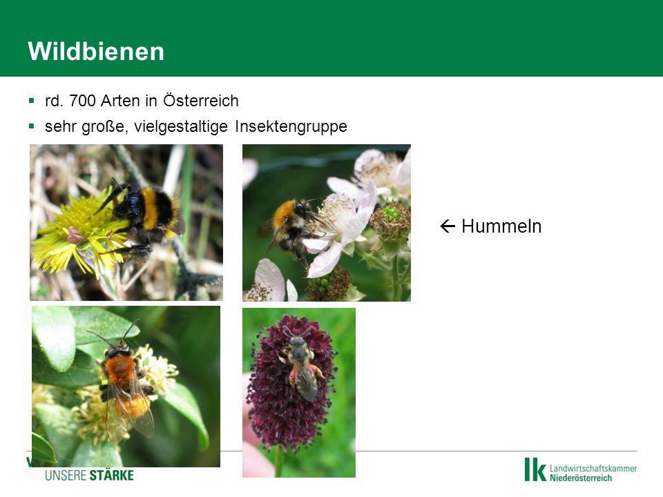 Wildbienen  rd. 700 Arten in Österreich  sehr große, vielgestaltige Insektengruppe   Hummeln