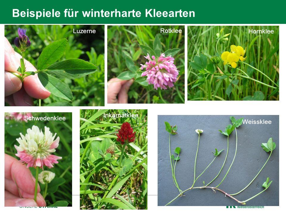 Beispiele für winterharte Kleearten Luzerne Rotklee Hornklee Schwedenklee Inkarnatklee Weissklee