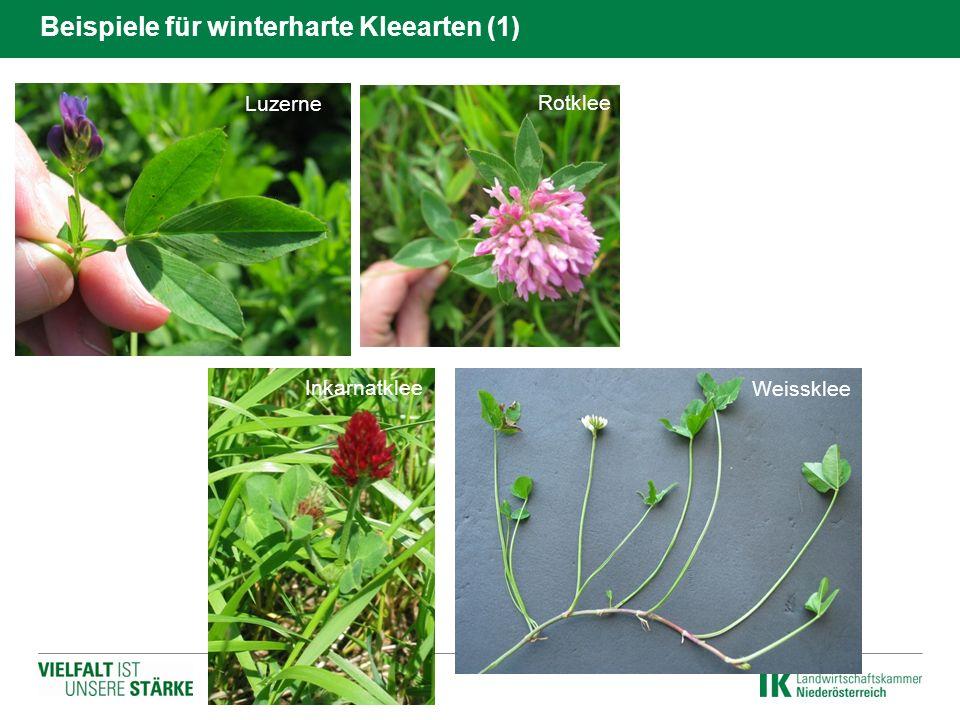 Beispiele für winterharte Kleearten (1) Luzerne Rotklee Inkarnatklee Weissklee