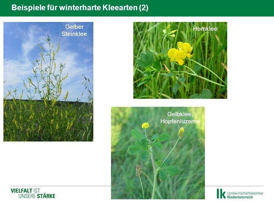 Hornklee Gelber Steinklee Gelbklee, Hopfenluzerne Beispiele für winterharte Kleearten (2)