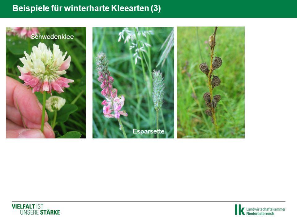 Hornklee Schwedenklee Beispiele für winterharte Kleearten (3) Esparsette