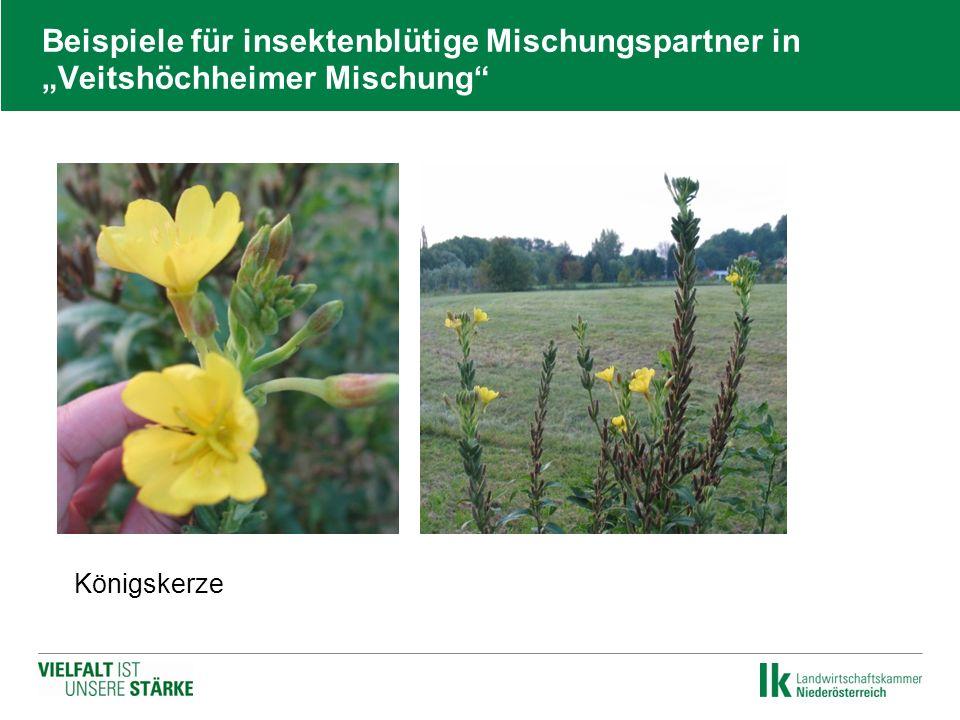 """Beispiele für insektenblütige Mischungspartner in """"Veitshöchheimer Mischung""""  Königskerze"""