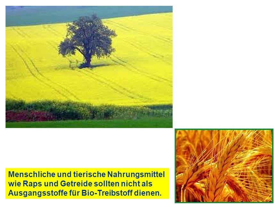 Menschliche und tierische Nahrungsmittel wie Raps und Getreide sollten nicht als Ausgangsstoffe für Bio-Treibstoff dienen.