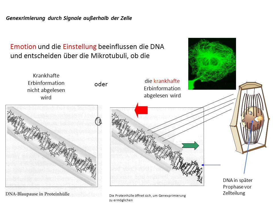 Die Proteinhülle öffnet sich, um Genexprimierung zu ermöglichen Genexrimierung durch Signale außerhalb der Zelle DNA in später Prophase vor Zellteilung Krankhafte Erbinformation nicht abgelesen wird die krankhafte Erbinformation abgelesen wird Emotion und die Einstellung beeinflussen die DNA und entscheiden über die Mikrotubuli, ob die oder