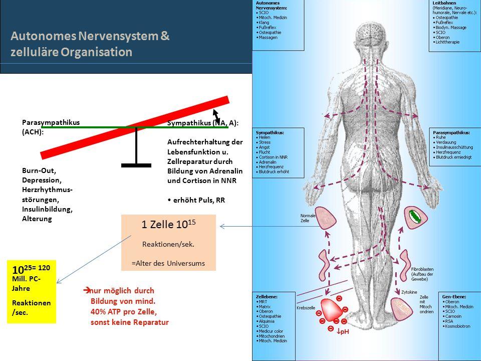 Autonomes Nervensystem & zelluläre Organisation Parasympathikus (ACH): Burn-Out, Depression, Herzrhythmus- störungen, Insulinbildung, Alterung Sympathikus (NA, A): Aufrechterhaltung der Lebensfunktion u.