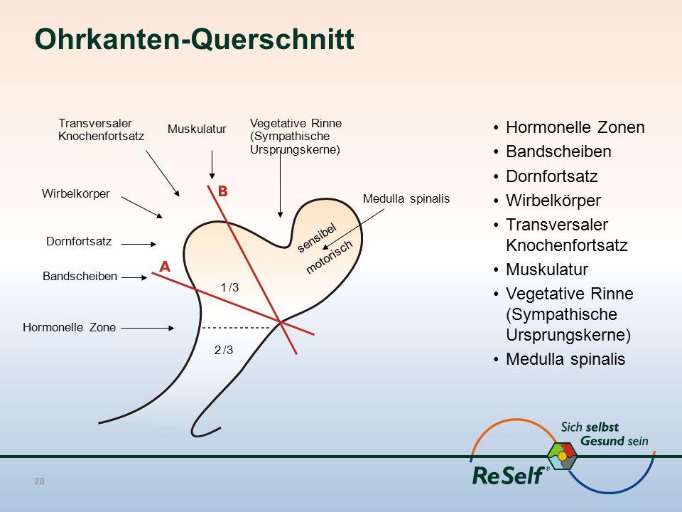 Ohrkanten-Querschnitt Hormonelle Zonen Bandscheiben Dornfortsatz Wirbelkörper Transversaler Knochenfortsatz Muskulatur Vegetative Rinne (Sympathische
