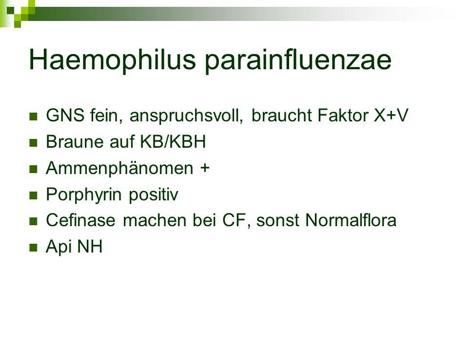 Haemophilus parainfluenzae GNS fein, anspruchsvoll, braucht Faktor X+V Braune auf KB/KBH Ammenphänomen + Porphyrin positiv Cefinase machen bei CF, son
