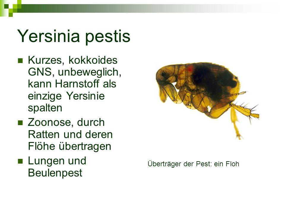 Yersinia pestis Kurzes, kokkoides GNS, unbeweglich, kann Harnstoff als einzige Yersinie spalten Zoonose, durch Ratten und deren Flöhe übertragen Lunge