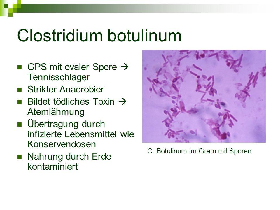 Clostridium botulinum GPS mit ovaler Spore  Tennisschläger Strikter Anaerobier Bildet tödliches Toxin  Atemlähmung Übertragung durch infizierte Lebe