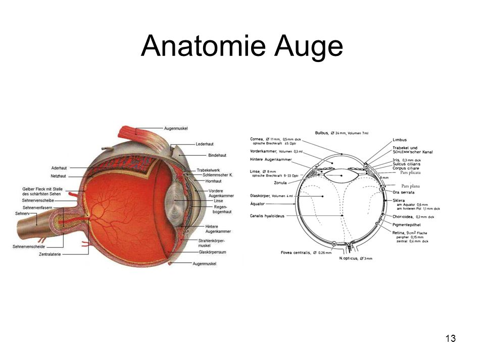 13 Anatomie Auge
