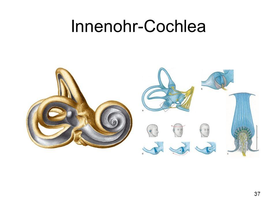 37 Innenohr-Cochlea