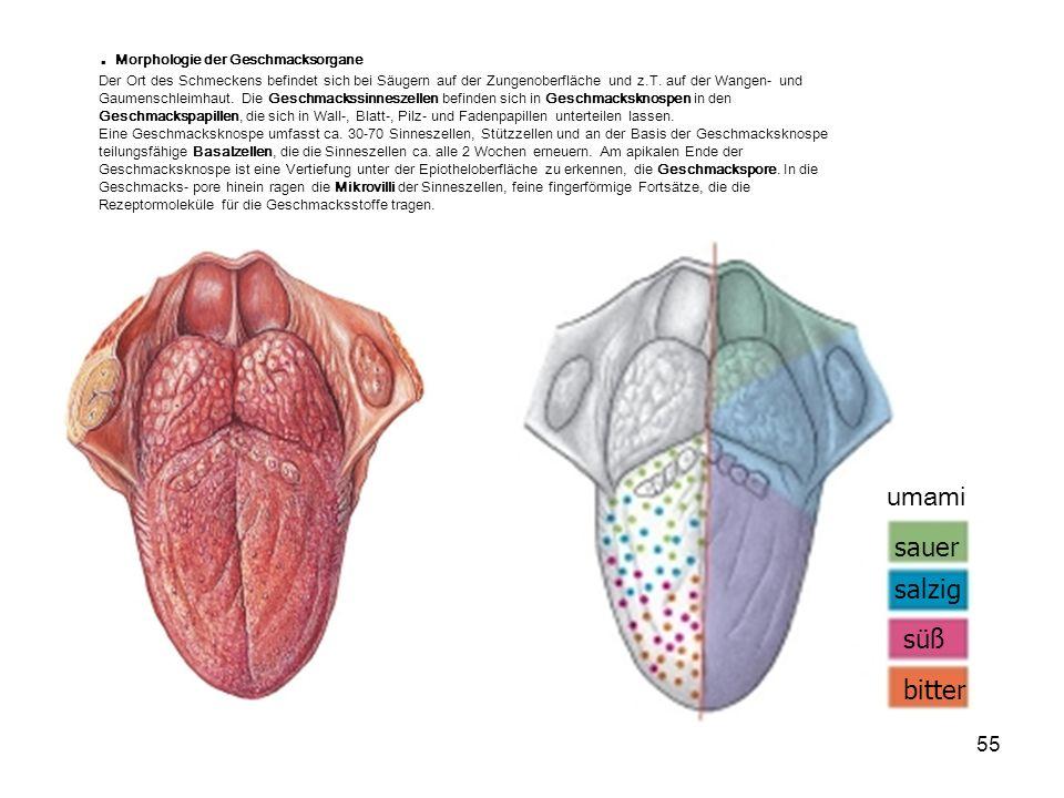 55 süß salzig sauer bitter umami. Morphologie der Geschmacksorgane Der Ort des Schmeckens befindet sich bei Säugern auf der Zungenoberfläche und z.T.
