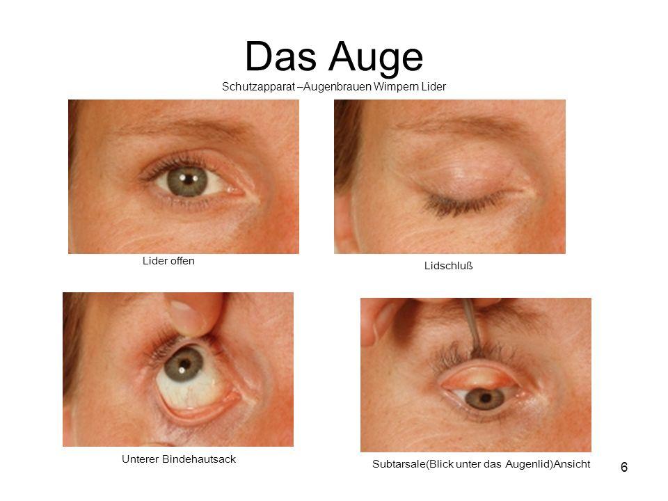 Das Auge Schutzapparat –Augenbrauen Wimpern Lider 6 Lider offen Lidschluß Unterer Bindehautsack Subtarsale(Blick unter das Augenlid)Ansicht