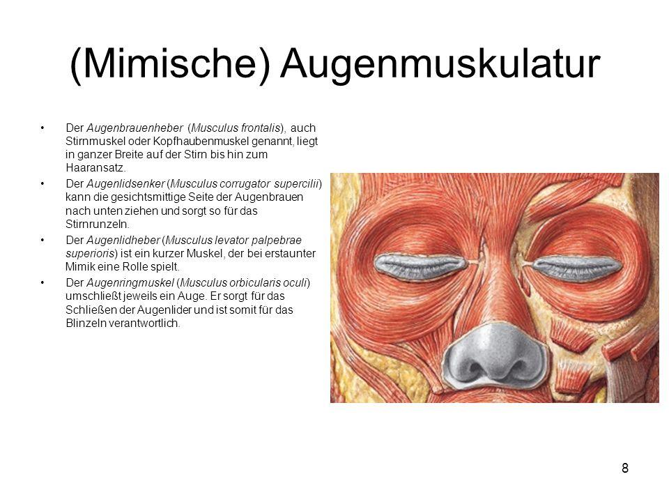 (Mimische) Augenmuskulatur Der Augenbrauenheber (Musculus frontalis), auch Stirnmuskel oder Kopfhaubenmuskel genannt, liegt in ganzer Breite auf der S