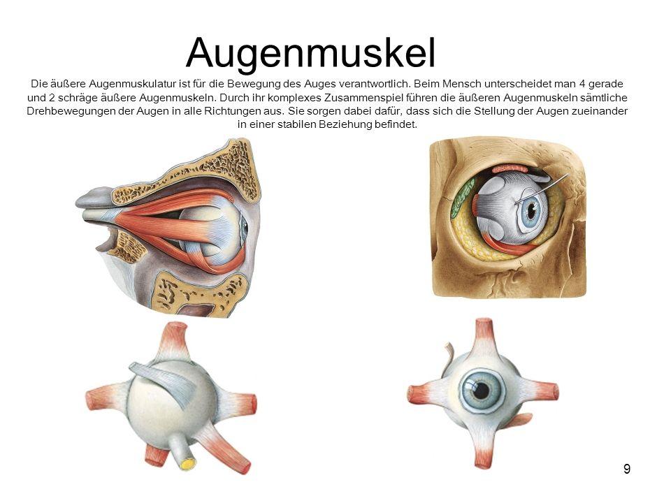 9 Augenmuskel Die äußere Augenmuskulatur ist für die Bewegung des Auges verantwortlich. Beim Mensch unterscheidet man 4 gerade und 2 schräge äußere Au