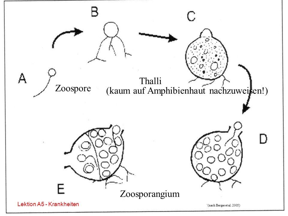 Batrachochytrium dendrobatidis (Kulturform) Lektion A5 - Krankheiten