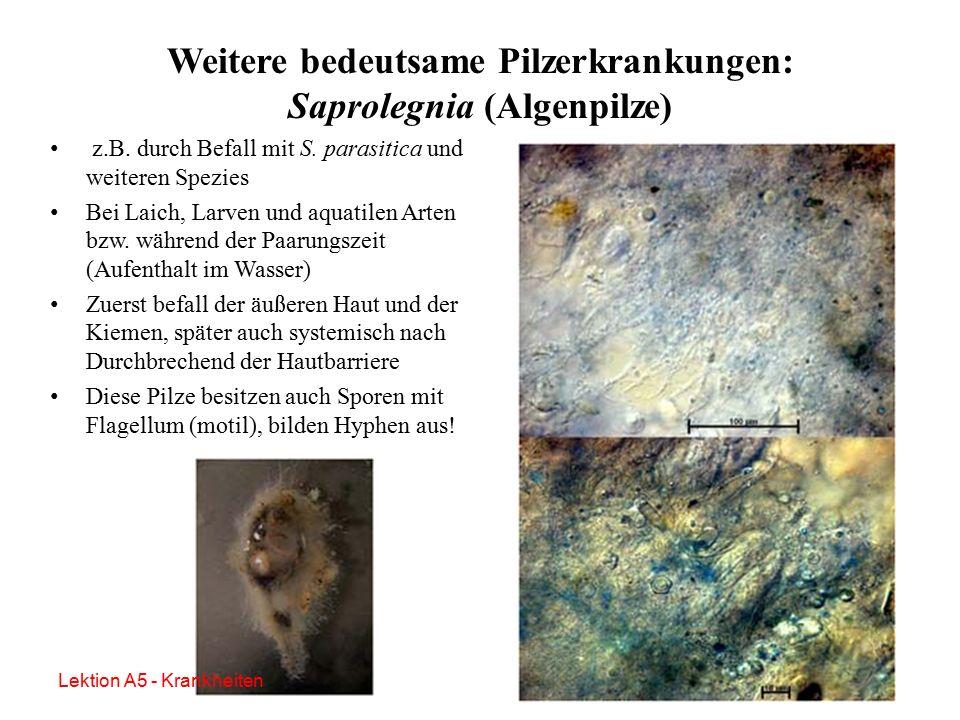 """B. dendrobatidis Mittlerweile weltweite Verbreitung (""""Out of Africa – Theorie"""") Auch bei autochthonen Amphibien aufgetreten, in europäischen Terrarien"""