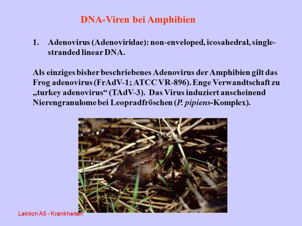 DNA-Viren bei Amphibien Aus Essbauer & Ahne, 2001 Lektion A5 - Krankheiten
