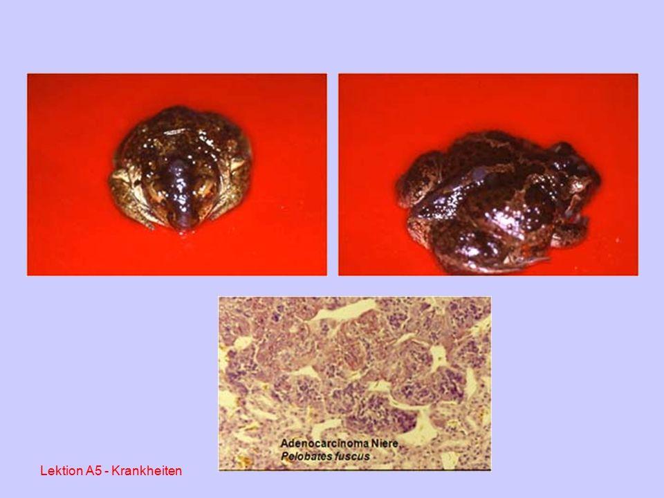 Herpes-Virus – Infektion bei Froschlurchen (Berliner Umland, 2002-2003) Lektion A5 - Krankheiten