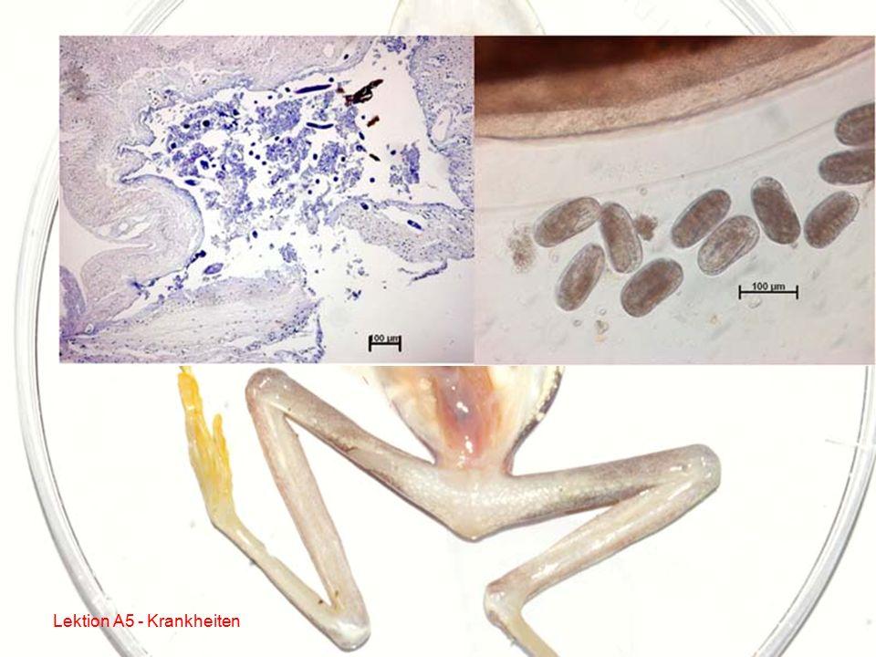 Beispiel für Nematodeninfektionen: Rhabdias spp.