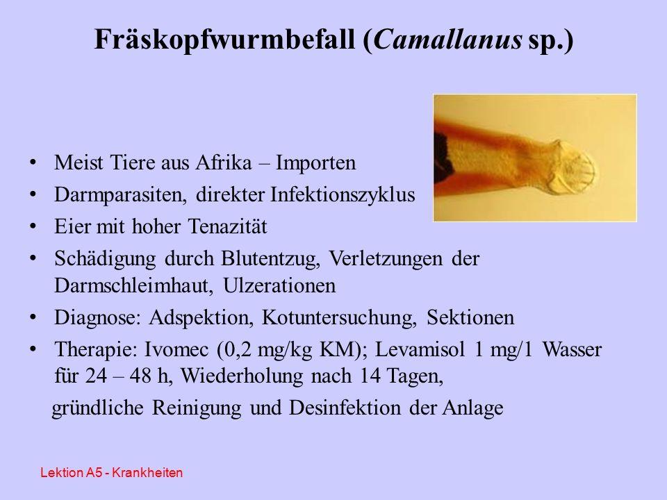 Ps. xenopi Diagnose: Hautabstriche, Bioptate, Histologie Therapie: Ivomec (0,2 mg/kg KM); Thiabendazol o.a. (0,1 g/l Wasser); regelmäßiger Wasserwechs