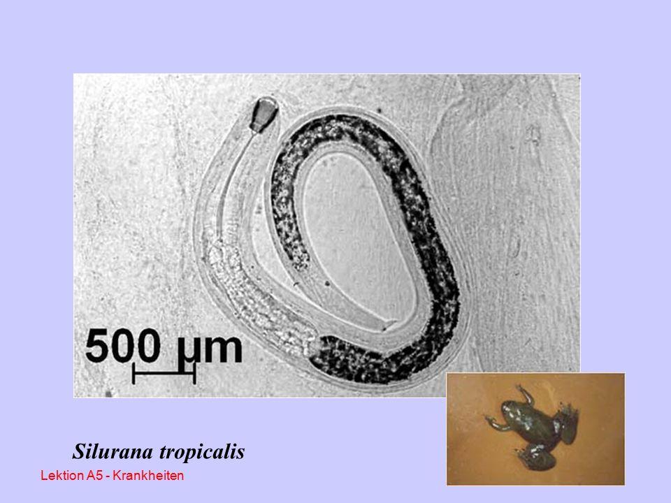 Fräskopfwurmbefall (Camallanus sp.) Meist Tiere aus Afrika – Importen Darmparasiten, direkter Infektionszyklus Eier mit hoher Tenazität Schädigung durch Blutentzug, Verletzungen der Darmschleimhaut, Ulzerationen Diagnose: Adspektion, Kotuntersuchung, Sektionen Therapie: Ivomec (0,2 mg/kg KM); Levamisol 1 mg/1 Wasser für 24 – 48 h, Wiederholung nach 14 Tagen, gründliche Reinigung und Desinfektion der Anlage Lektion A5 - Krankheiten
