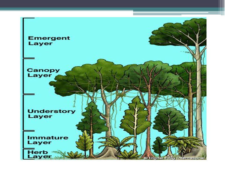 Subtropischer Regenwald Den tropischen Regenwäldern sehr ähnlich Sind weniger artenreich Je weiter der subtropische Wald vom Äquator entfernt ist, desto niedriger liegt der Wald