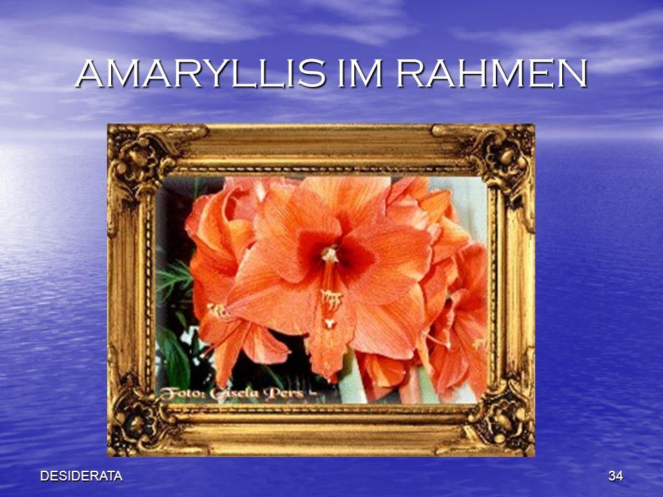 DESIDERATA34 AMARYLLIS IM RAHMEN