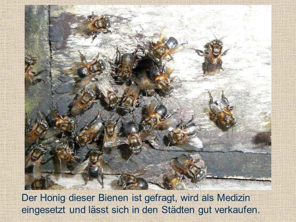 Der Honig dieser Bienen ist gefragt, wird als Medizin eingesetzt und lässt sich in den Städten gut verkaufen.