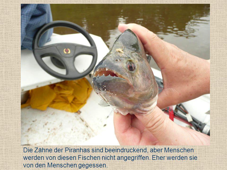 Die Zähne der Piranhas sind beeindruckend, aber Menschen werden von diesen Fischen nicht angegriffen. Eher werden sie von den Menschen gegessen.