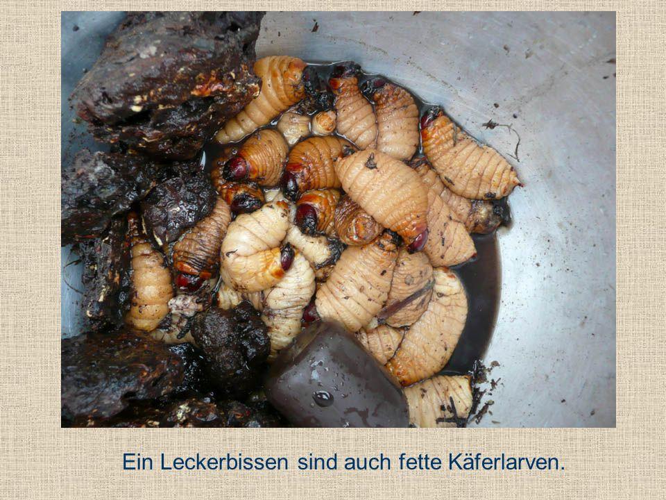 Ein Leckerbissen sind auch fette Käferlarven.