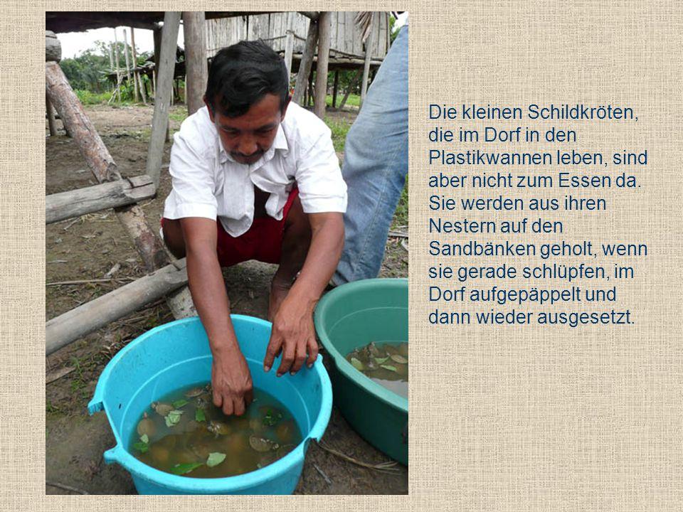 Die kleinen Schildkröten, die im Dorf in den Plastikwannen leben, sind aber nicht zum Essen da.