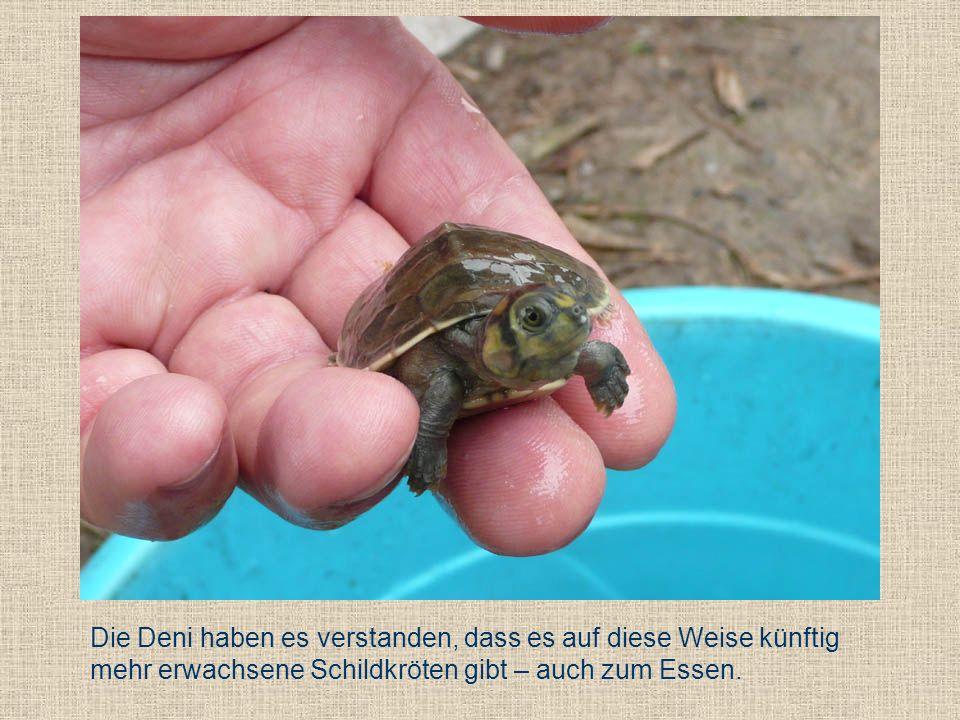 Die Deni haben es verstanden, dass es auf diese Weise künftig mehr erwachsene Schildkröten gibt – auch zum Essen.