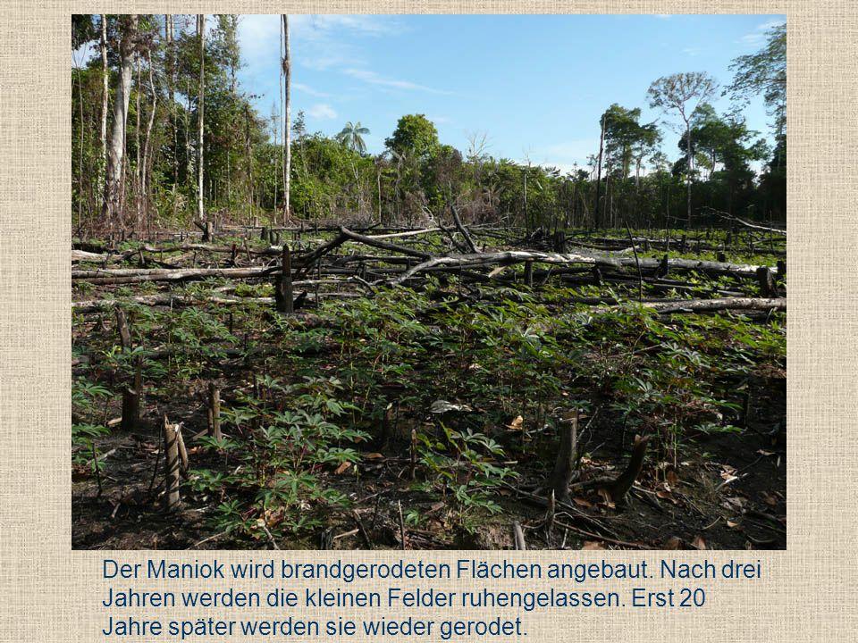 Der Maniok wird brandgerodeten Flächen angebaut. Nach drei Jahren werden die kleinen Felder ruhengelassen. Erst 20 Jahre später werden sie wieder gero